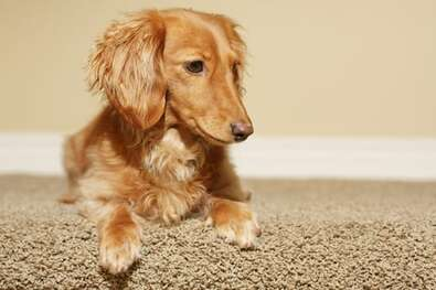 No matter what type of pet you have, we can help take care of the stains. Our carpet cleaners in Bergen County NJ are trained to remove all types of pet stains, including urine and vomit. If your dog has an accident on your rug, don't panic! We will get it out for you at a competitive price. With our low prices and guaranteed results, there's no reason not to give us a call.